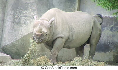 Rhinoceros Eating - Rhinoceros eating hay