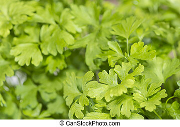 Parsley Plant - Flat leaf Parsley Plant detailed close-up...