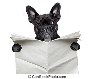 newspaper bulldog - black french bulldog reading a big blank...