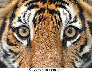 bengal tiger eyes - close up of bengal tiger eyes