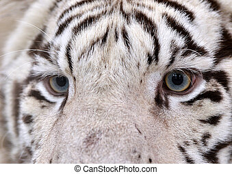 white bengal tiger eyes - close up of white bengal tiger...