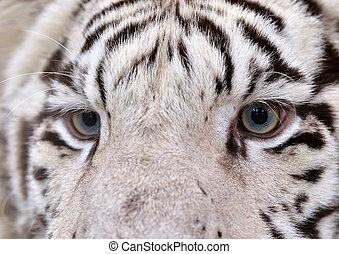 white bengal tiger eyes - close up of white bengal tiger...
