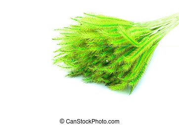 Feather Grass or Needle Grass, Nassella tenuissima isolated on white