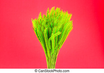 Feather Grass or Needle Grass, Nassella tenuissima isolated on red