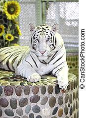 White tiger in relax - White tiger in relax on podium stone...