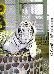 White tiger in relax. - White tiger in relax on podium...