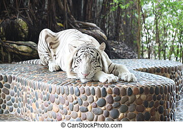 White tiger in relax - White tiger in relax on podium stone...