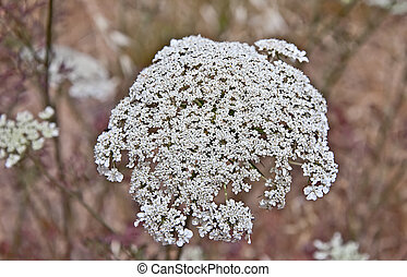 Queen Anne's Lace Flower Daucus carota - This is a shot of...