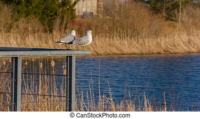 Two Seagulls on the pond