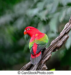 Chattering Lory - Beautiful red parrot, Chattering Lory...