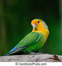 Lovebird - Beautiful bird, Lovebird, standingon the log,...