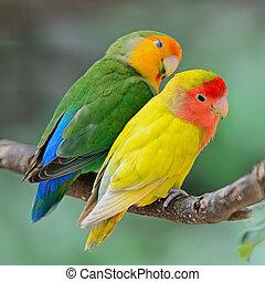 Lovebird - Beautiful bird, Lovebird, standingon a branch,...