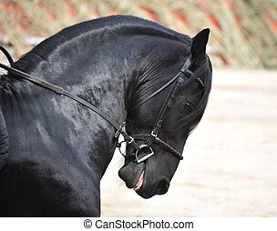 friesian stallion - A black Friesian stallion withe a bridle...
