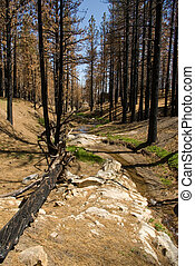 Burned Riparian - Blackened trees and a small creek in a...