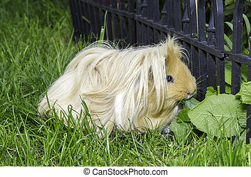 Guinea pig in grass, eating leaves