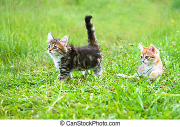 the fluffy kittens plays in a green grass - the fluffy...