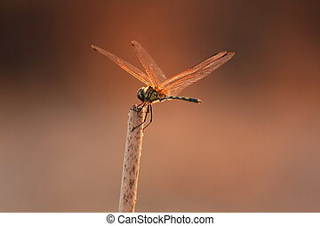 Dragonfly - Beautiful dragonfly in the field of twilight
