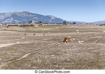Cows grazing in the field