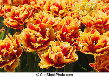 Fresh orange tulips in warm sunlight - lots of Fresh...
