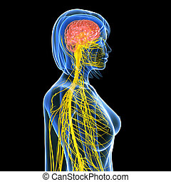 Female nervous system with brain - 3d rendered illustration...