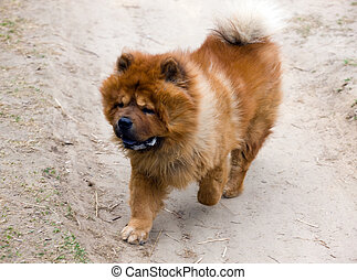 Running chow-chow - Running dog of breed of a chow-chow