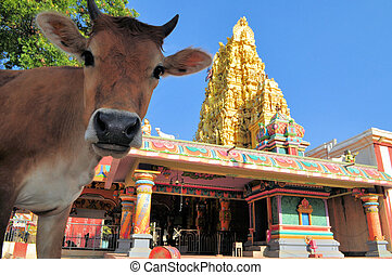 Sacred cow in front of Hindu temple, Sri Lanka
