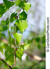 branch of birch tree