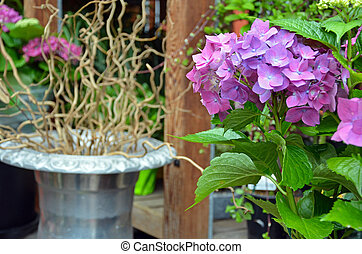 Beautiful purple hydrangea flowers with planter in...