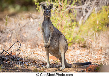 Observant kangaroo - Wild kangaroos in the Australian forest...