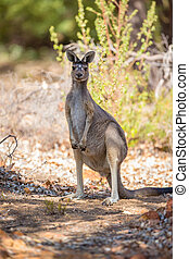 Observant kangaroo - Wild kangaroos in the Australian...