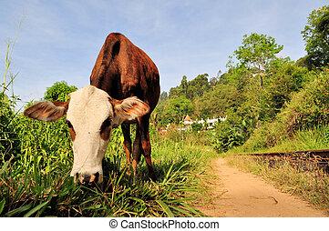 Cow in front of Buddhist temple, Ella, Sri Lanka