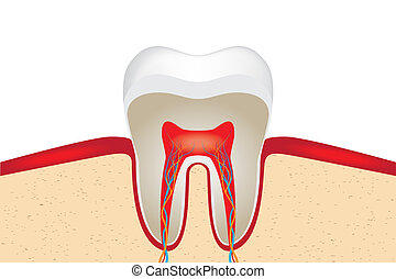 Crop of tooth. EPS 10 vector illustration