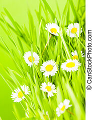 green grass and daisy - Wild daisy flowers in the grass...