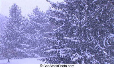 Pine Trees in Snowstorm - Scenic pine trees in snowstorm.