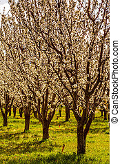 Peach and Apple Orchards in Spring Bloom