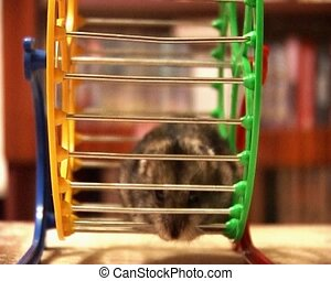 little hamster - small domestic hamster running in the wheel