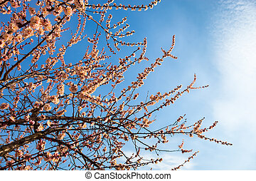 Apricot blossom branches against the sky with cirrus clouds.