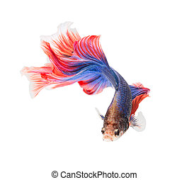 siamese fighting fish , betta isolated on white background