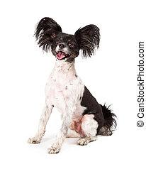 Papillon Dog Big Smile - A cute happy little Papillon dog...