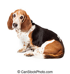 Basset Hound Profile Sad Look - A pretty adult Basset Hound...