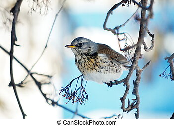 Thrush in garden - In winter, the thrushes fly to eat berry...