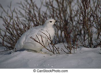 Ptarmigan in Willows - a ptarmigan in winter plummage in...