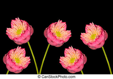 Twain pink water lily flower on black background