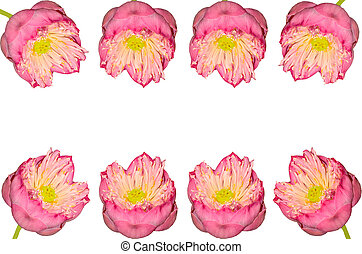 Twain pink water lily flower on white background