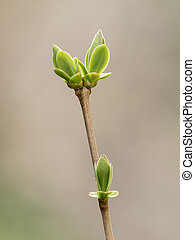 Spring buds and leaves