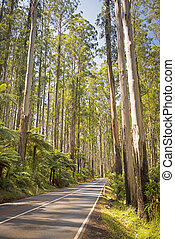 Forest Road - Towering trees and tree ferns in the forest...
