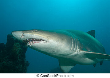 Raggie shark - A sand tiger shark swimming close to the reef...