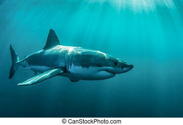 Great white shark underwater. - Great white shark underwater...
