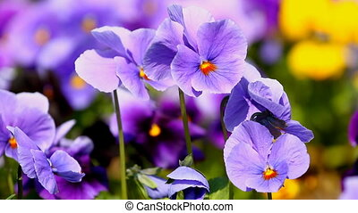 Viola flowers in the summer garden