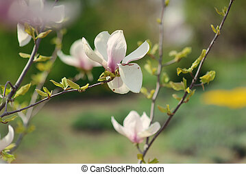 magnolia - in the garden close up of tree branches with...
